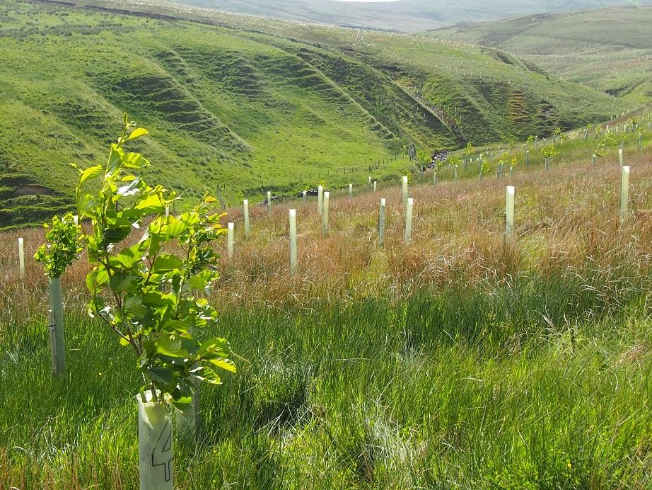 Tree planting on Tebay Common